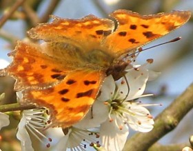 Comma butterfly on blossom